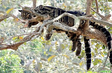 дымчатые леопарды фото