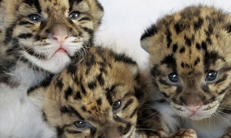котята дымчатого леопарда фото