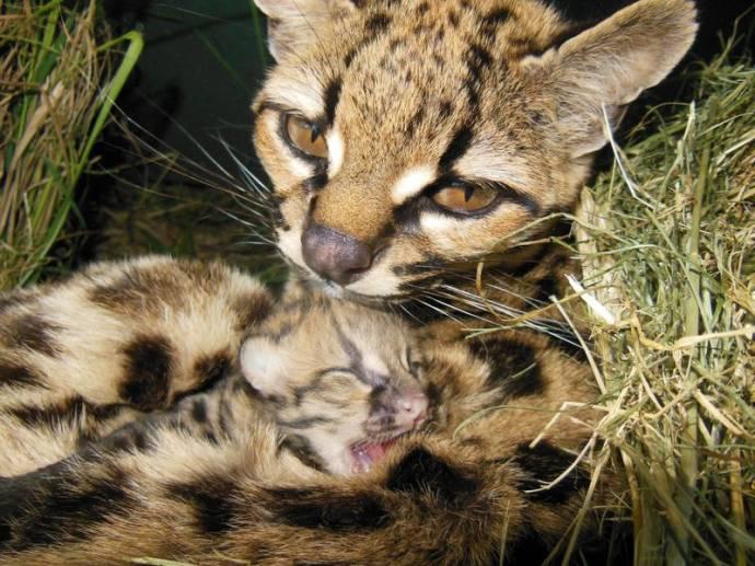 Маргай с котенком фото