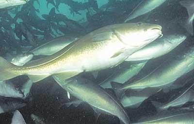 рыба сайка фото