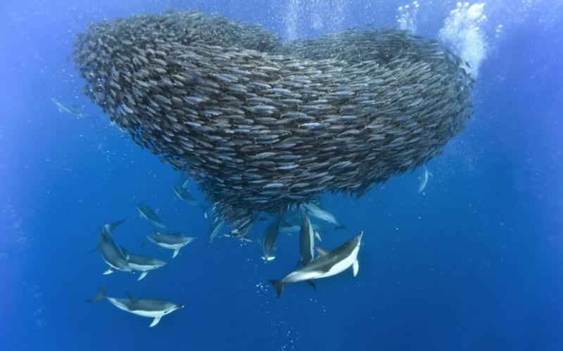 косяк скумбрии и акулы фото