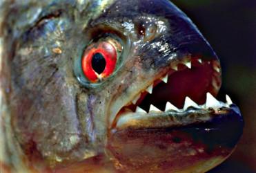 рыба пиранья фото