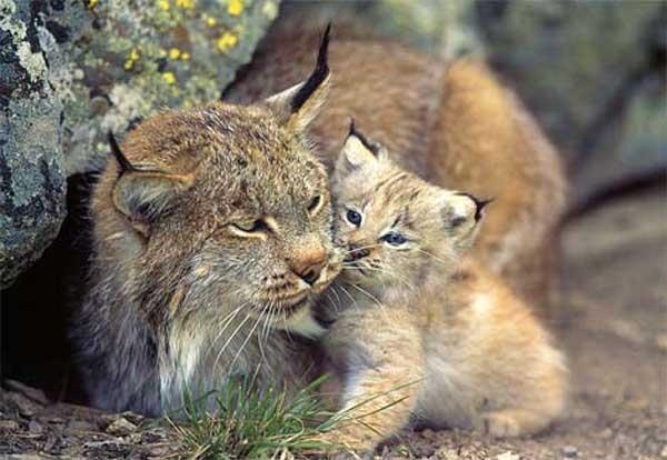 канадская рысь с котенком фото