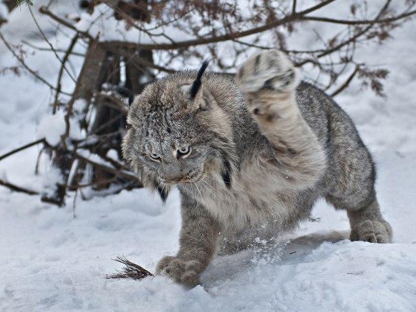 канадская рысь на охоте фото
