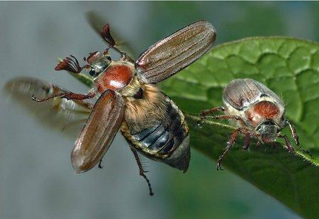 майские жуки фото