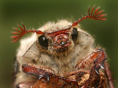 жук майский фото