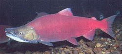 рыба нерка фото