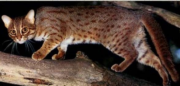 кошка ржавая фото