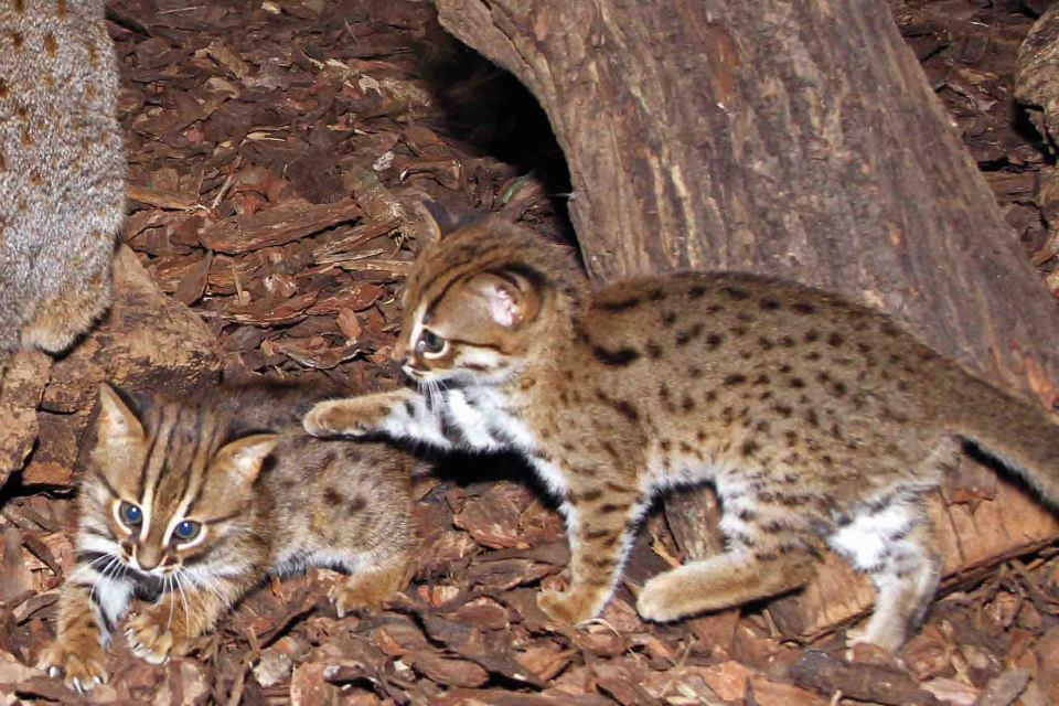 котята ржавой кошки фото