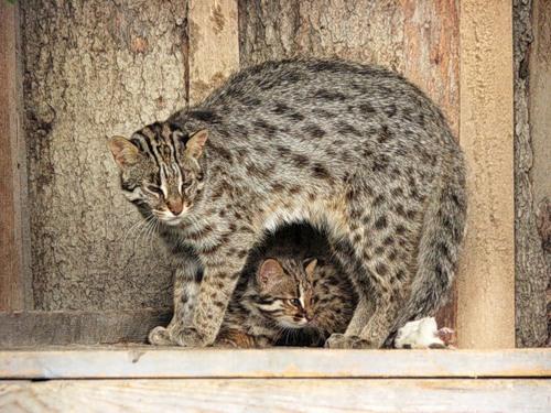 Кошка Жоффруа с котенком фото