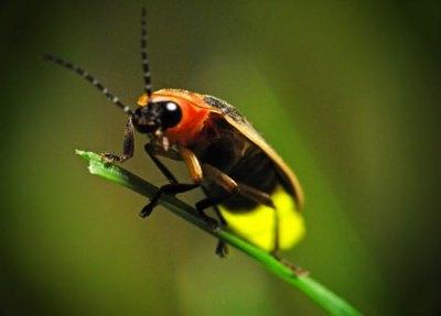 насекомое светляк фото