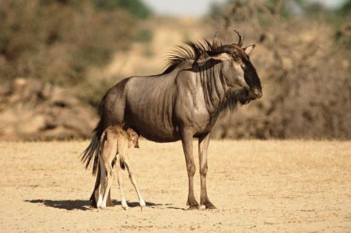антилопа гну с детенышем фото