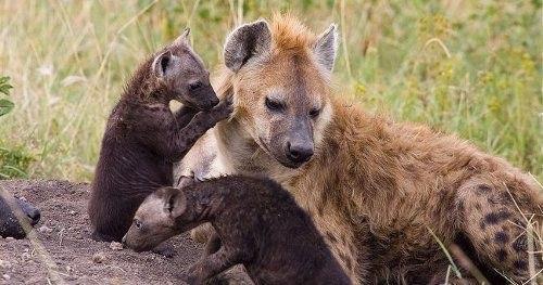 пятнистая гиена с детенышами фото
