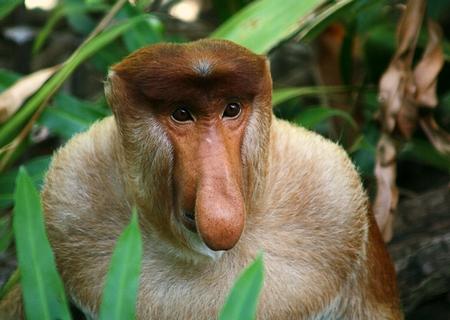 обезьяна носач фото