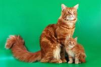 Кошка Мейн кун с котятами фото