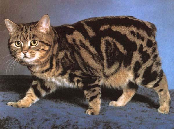 Манкс кошка фото