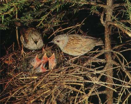 птенцы лесной завирушки фото