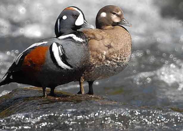 птицы каменушки фото