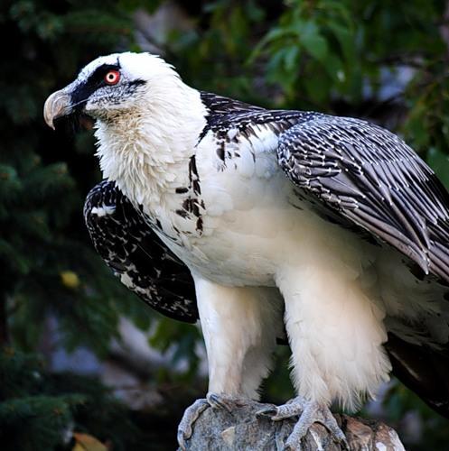 птица бородач фото
