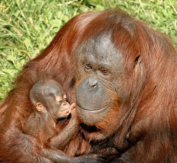 орангутанг с детенышем фото