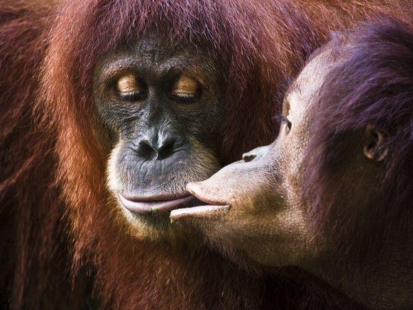 орангутанги фото