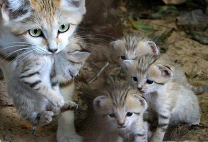 барханная кошка с котятами фото