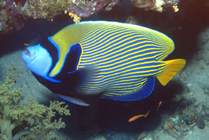 лучеперые рыбы. Рыба ангел фото
