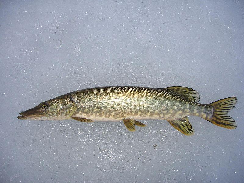 рыба щука фото