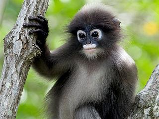 Приматы. Семейство мартышковые фото