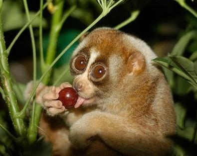 Приматы. Полуобезьяны семействолориевые