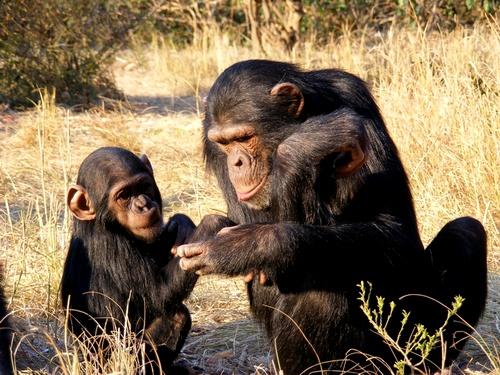 Приматы. Семейство гоминиды шимпанзе фото