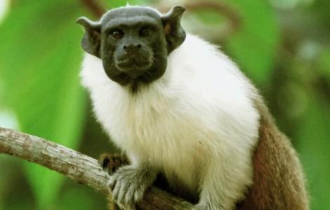 Приматы. Семейство игрунковые фото