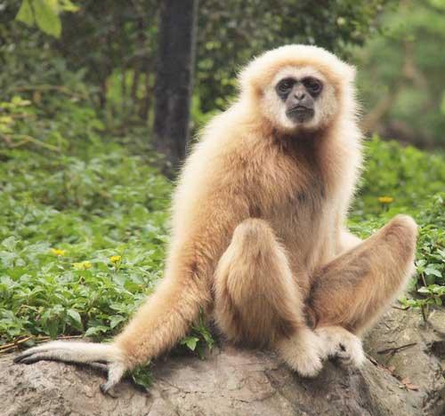 Приматы. Семейство гиббоновые фото