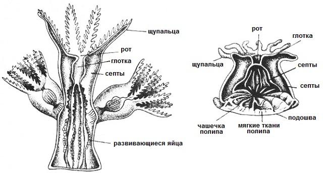 строение коралла фото