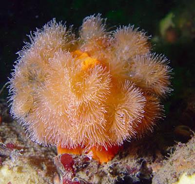 мягкие кораллы фото