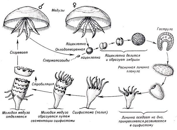 жизненный цикл медузы фото