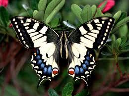 махаон бабочка фото