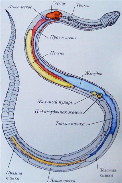 строение змеи фото