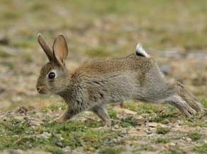 Зайцеобразные. дикий кролик фото