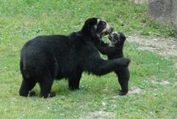 очковый медведь с медвежонком фото
