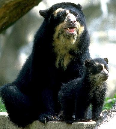 очковые медведи фото