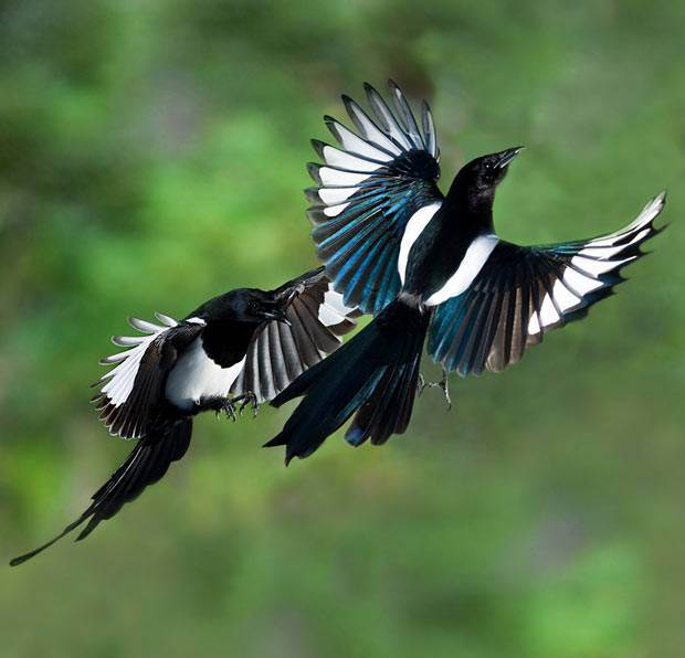 птицы сороки фото