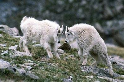 снежные козы фото