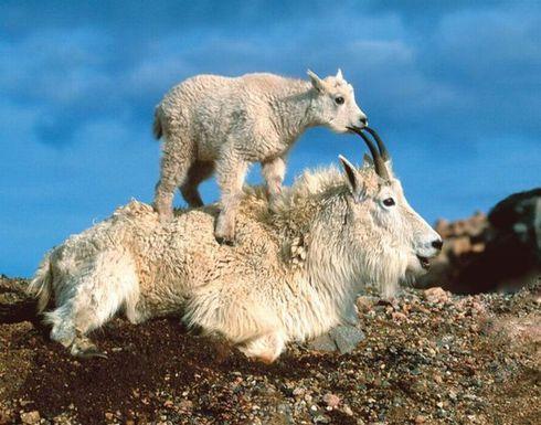 снежная коза с козленком фото