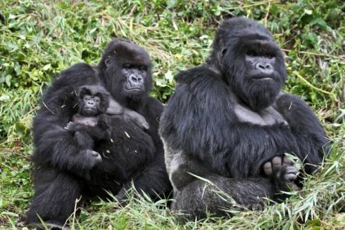 гориллы фото