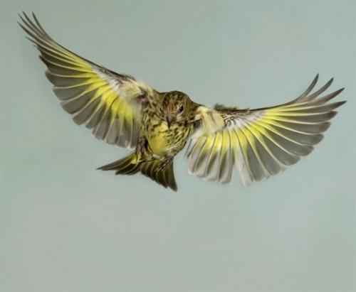 птица чиж фото