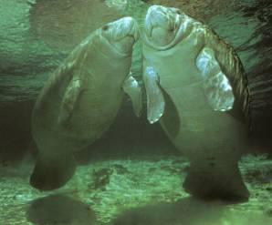 морские коровы фото