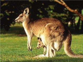 сумчатые кенгуру фото