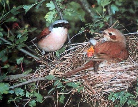 воробьинообразные, гнездо с птенцами фото