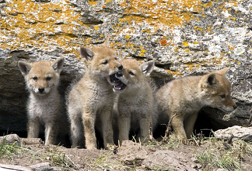 щенки койота фото